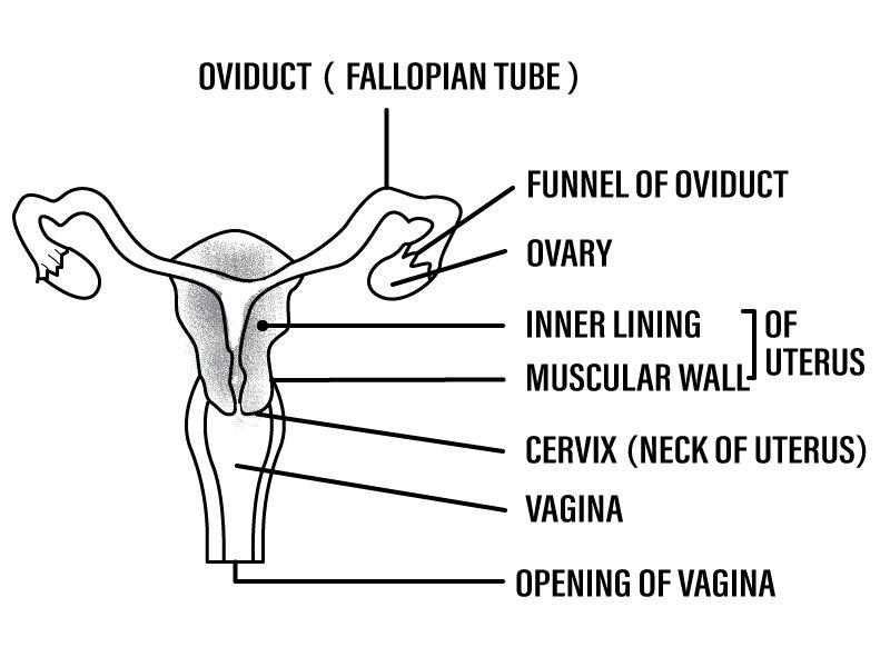 Q2 Describe The Human Female Reproductive System With A